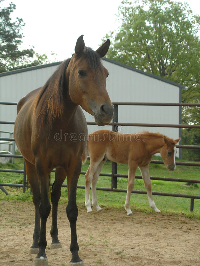 Égua e potro árabes imagem de stock royalty free