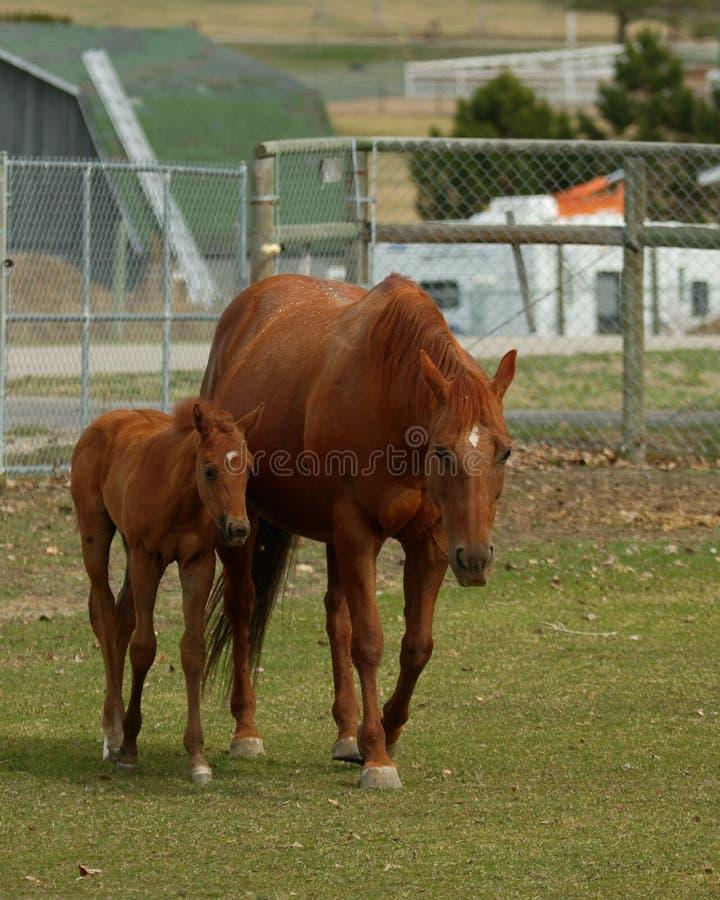 Égua e potro imagem de stock