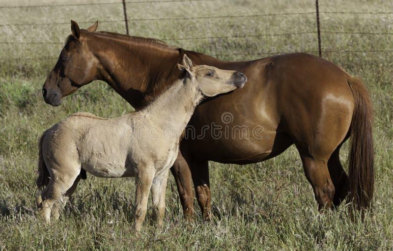 Égua e potro foto de stock royalty free