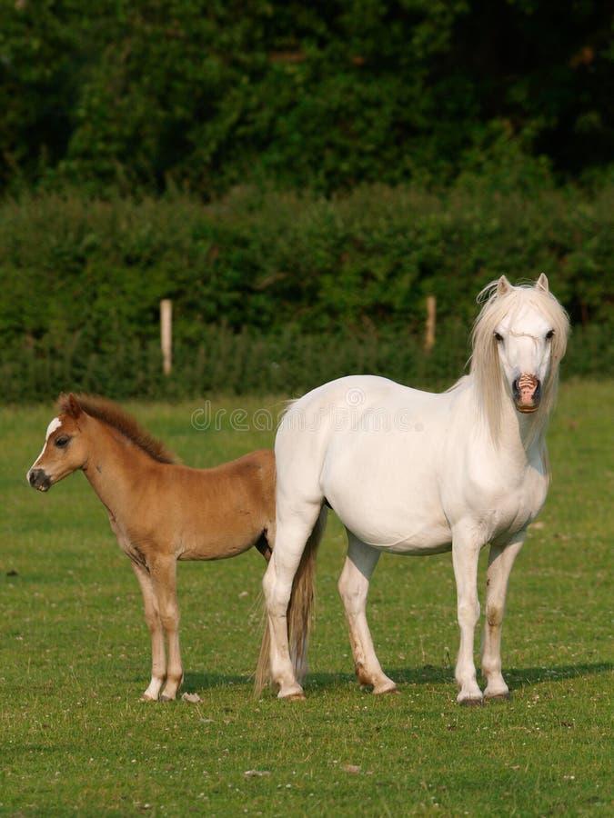 Égua e potro bonitos fotos de stock