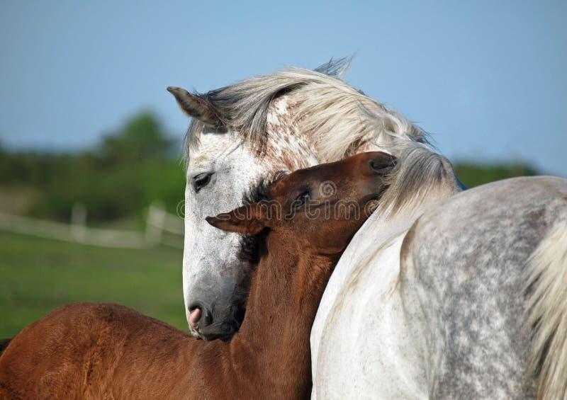 Égua e potro cinzentos em um pasto imagens de stock