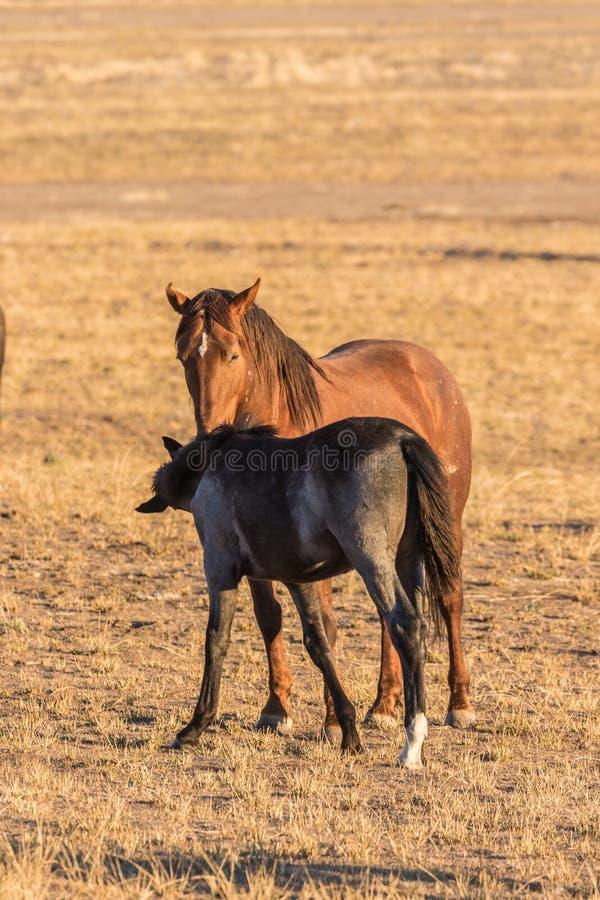 Égua e potro do cavalo selvagem no deserto foto de stock