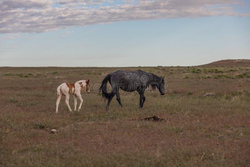 Égua e potro do cavalo selvagem no deserto fotografia de stock