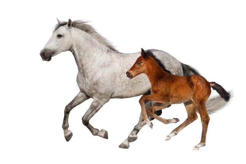 Égua e potro isolados fotografia de stock royalty free