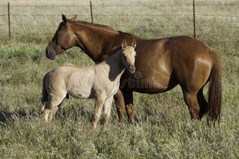 Égua e potro na luz solar fotografia de stock