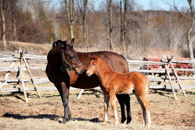 Égua e potro na primavera imagens de stock