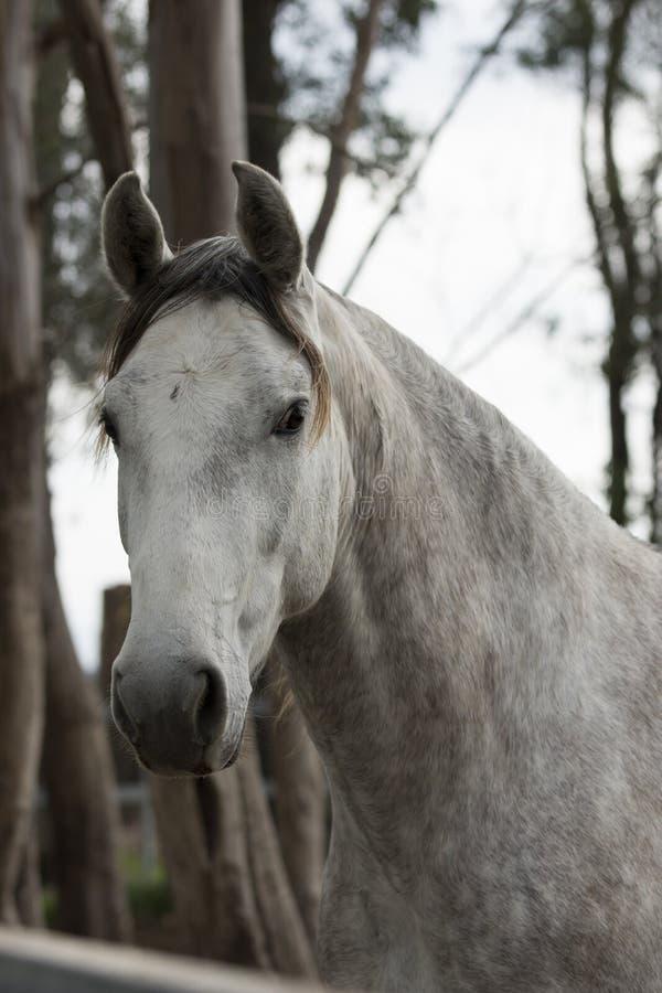 Égua espanhola pura em um dia nebuloso fotos de stock