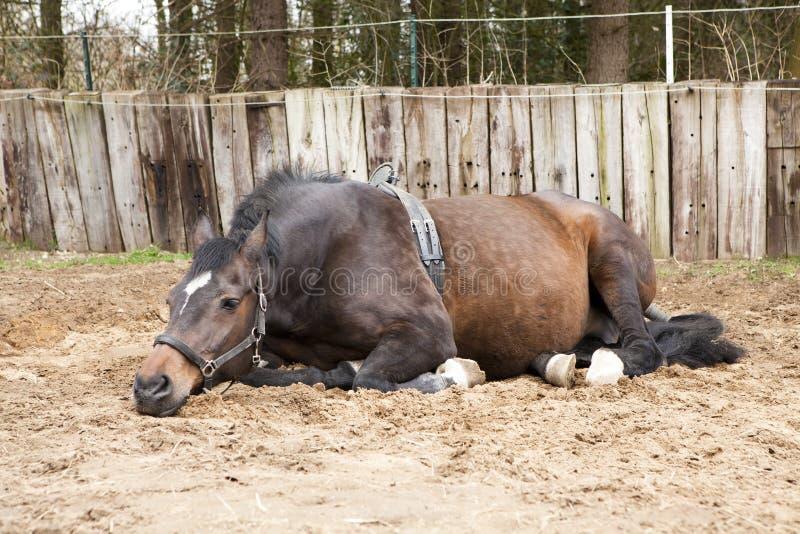 Égua grávida foto de stock