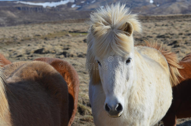 Égua islandêsa consideravelmente branca imagem de stock