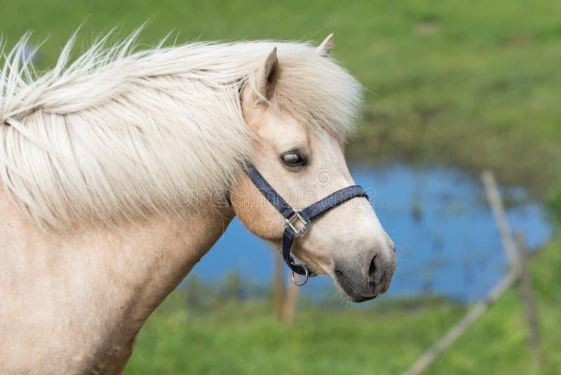 Égua islandêsa do Palomino do cavalo fotografia de stock royalty free