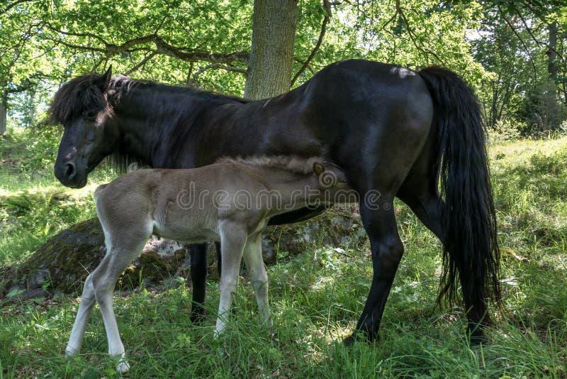 A égua islandêsa preta do cavalo com seu palomino coloriu o potro imagens de stock