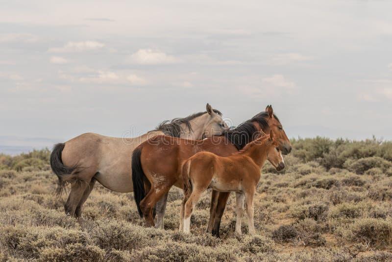 Éguas e potro do cavalo selvagem no deserto alto de Colorado imagens de stock