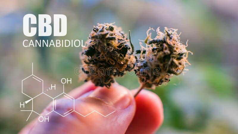 Éléments chimiques de CBD THC contenus dans le cannabis Marijuana médicale 2019n images libres de droits