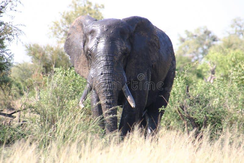 Éléphant à l'avant photos libres de droits