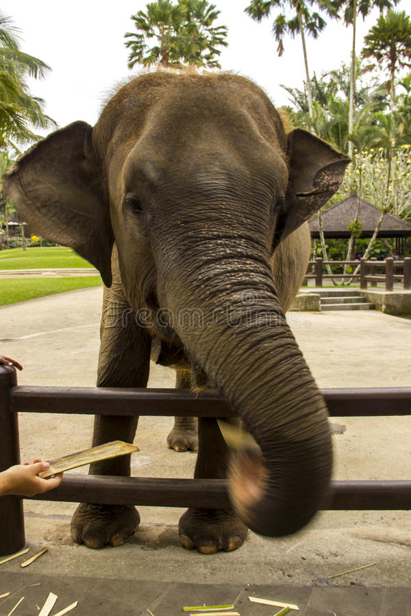 Éléphant affamé photos stock