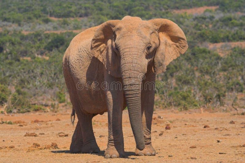 Éléphant africain photo libre de droits
