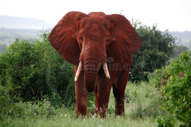 Éléphant africain photographie stock