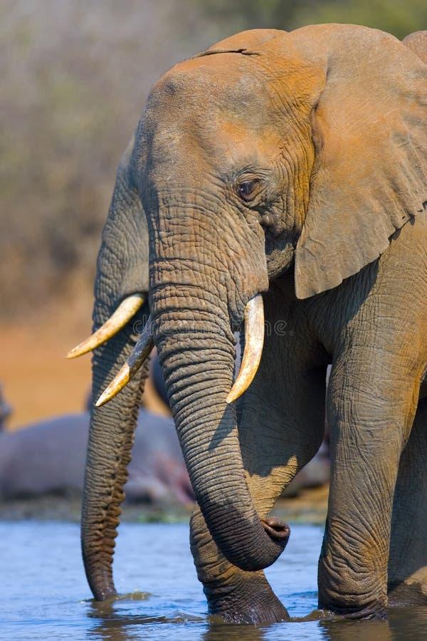Download Éléphant africain photo stock. Image du animal, nature - 728312