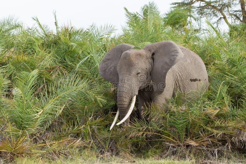 Éléphant africain alimentant sur des paumes, Amboseli, Kenya image stock