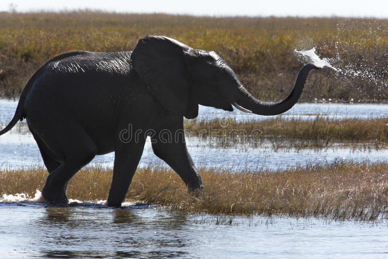 Éléphant africain - Botswana image libre de droits