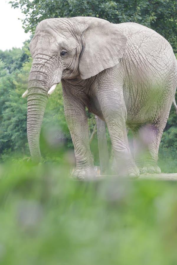 Éléphant africain calme se reposant au fond touffu de terre image stock