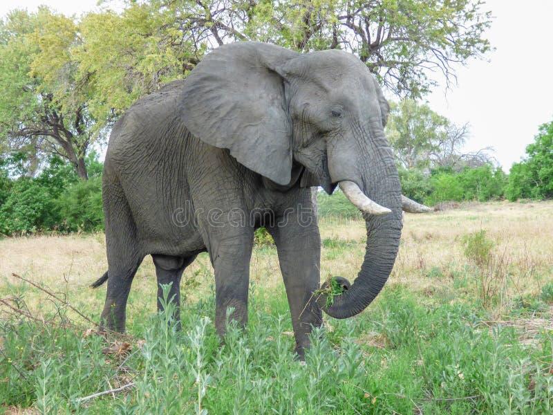 Éléphant africain dans l'habitat naturel, Botswana photo stock