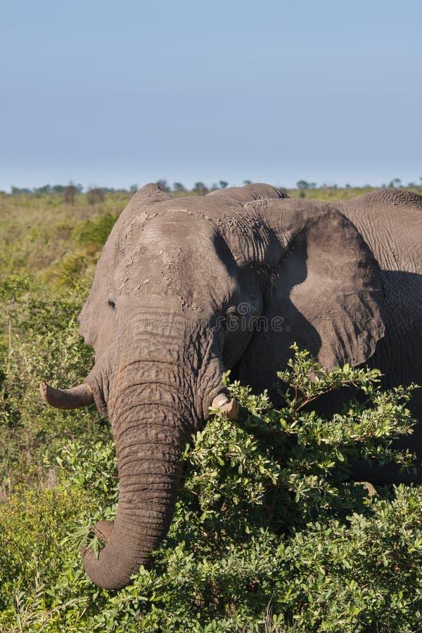 Éléphant africain dans la savane, Botswana photos stock