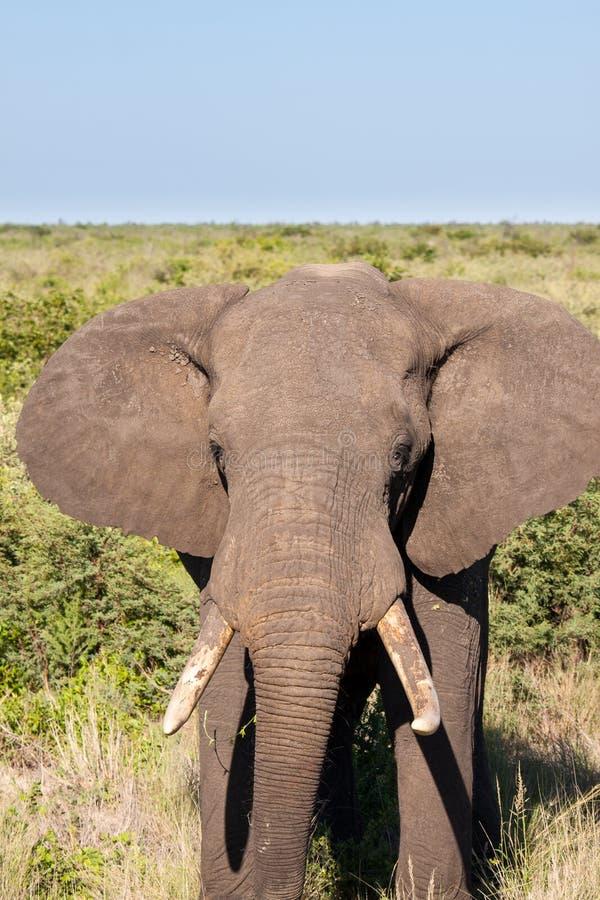 Éléphant africain dans la savane, Botswana photographie stock