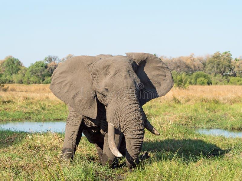 Éléphant africain dans le delta d'Okavango au Botswana photo libre de droits