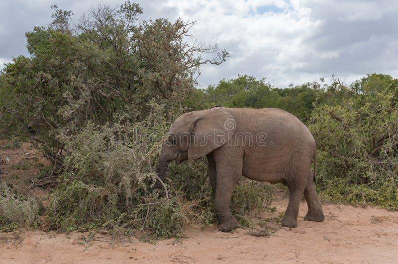 Éléphant africain de bébé mangeant le buisson en Afrique photos libres de droits
