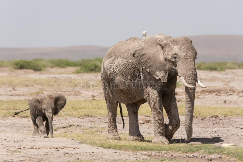 Éléphant africain de bébé suivant sa mère dans Amboseli, Kenya photo libre de droits