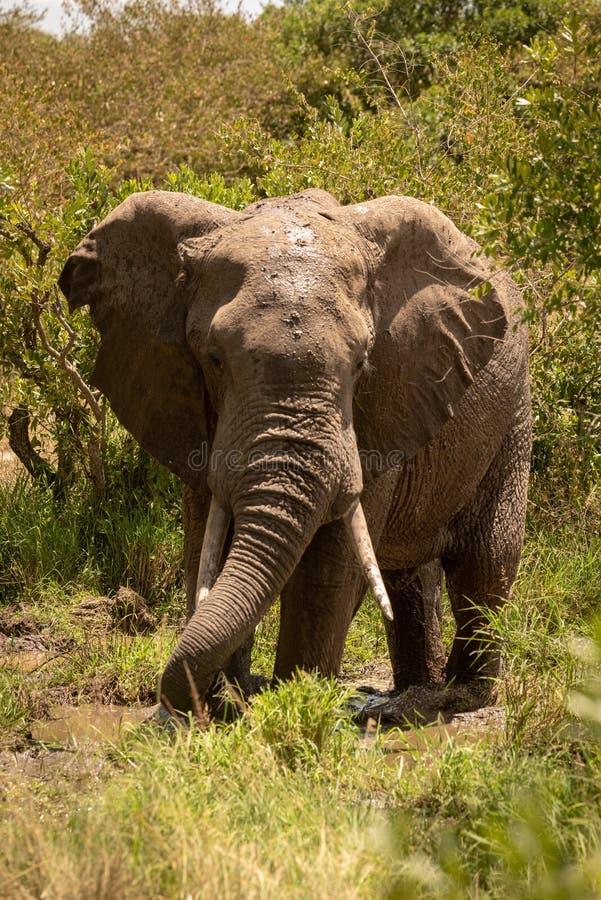 Éléphant africain de buisson buvant de la piscine boueuse photo stock