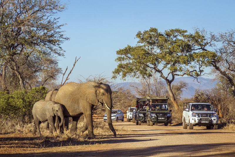 Éléphant africain de buisson en parc national de Kruger, Afrique du Sud photos stock