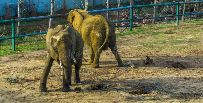 Éléphant africain de buisson de Tusked balançant son corps, comportements animaux de zoo, espèce animale vulnérable d'Afrique photos stock