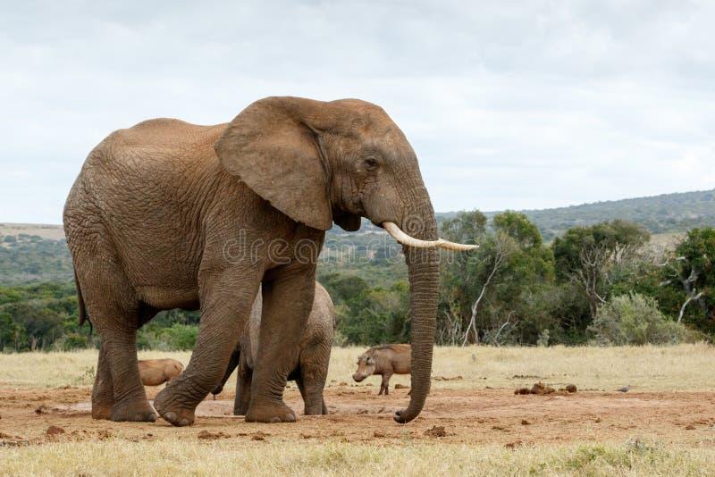 Download Éléphant africain de Bush photo stock. Image du mâle - 77158638