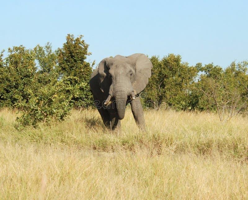 éléphant africain de l'Afrique images libres de droits