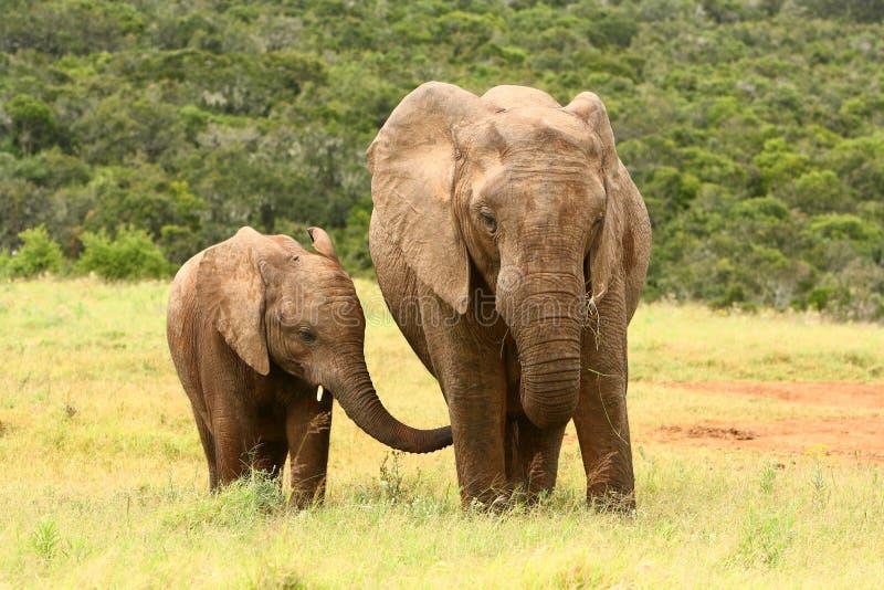 Éléphant africain de mère et de chéri images libres de droits