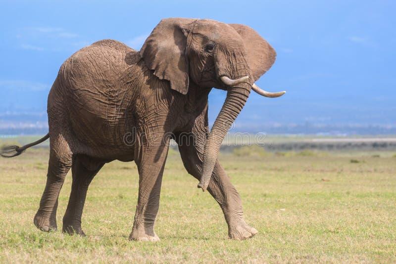 Éléphant africain de taureau dynamique photo stock