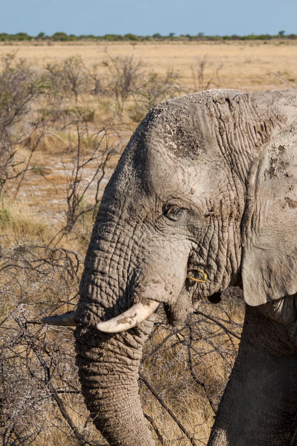 Éléphant africain en parc national d'Etosha, Namibie images stock