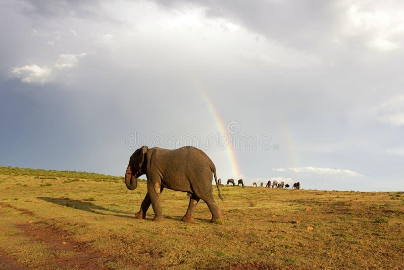 Éléphant africain et arc-en-ciel en Afrique du Sud images stock