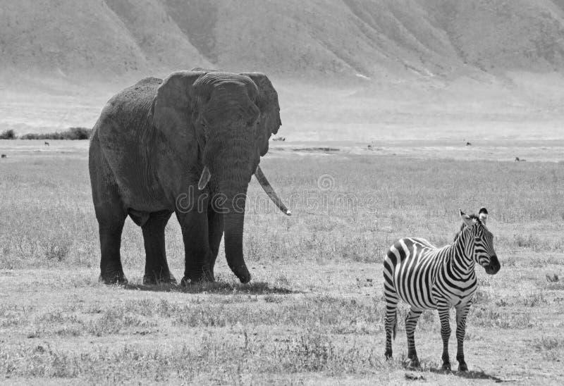 Éléphant africain et zèbre noirs et blancs image stock