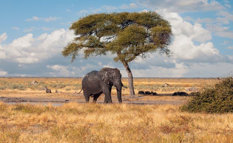 Éléphant africain, faune de safari du Botswana photos libres de droits