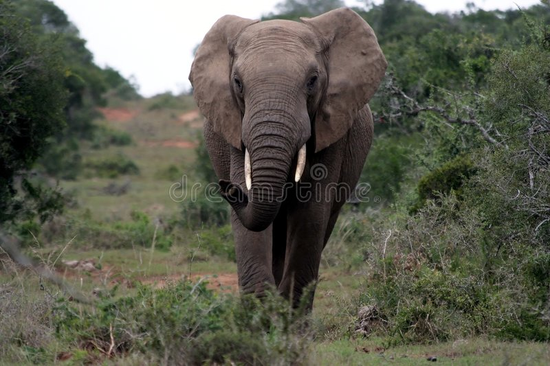 Éléphant africain flairant l'air photo libre de droits