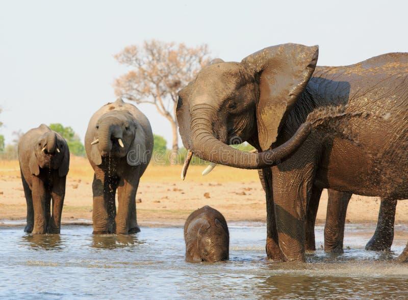 Éléphant africain l'éclaboussant individu avec de l'eau tandis que deux autres pour prendre une boisson à l'arrière-plan photos libres de droits