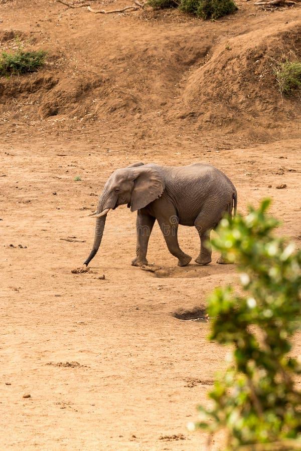 Éléphant africain marchant dans le lit de rivière sec, parc de Kruger, Afrique du Sud image stock