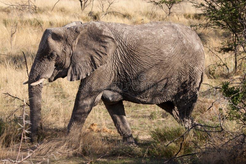 Éléphant africain marchant par le parc national d'Etosha, Namibie photo libre de droits