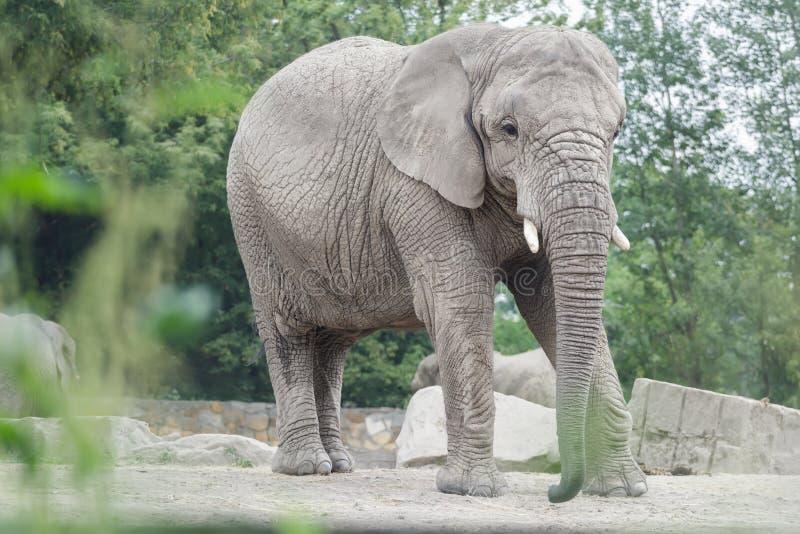 Éléphant africain ou portrait intégral d'africana de Loxodonta dans la pose de détente photo libre de droits