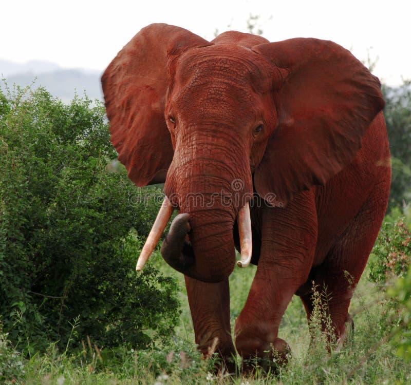 Éléphant africain rouge image stock