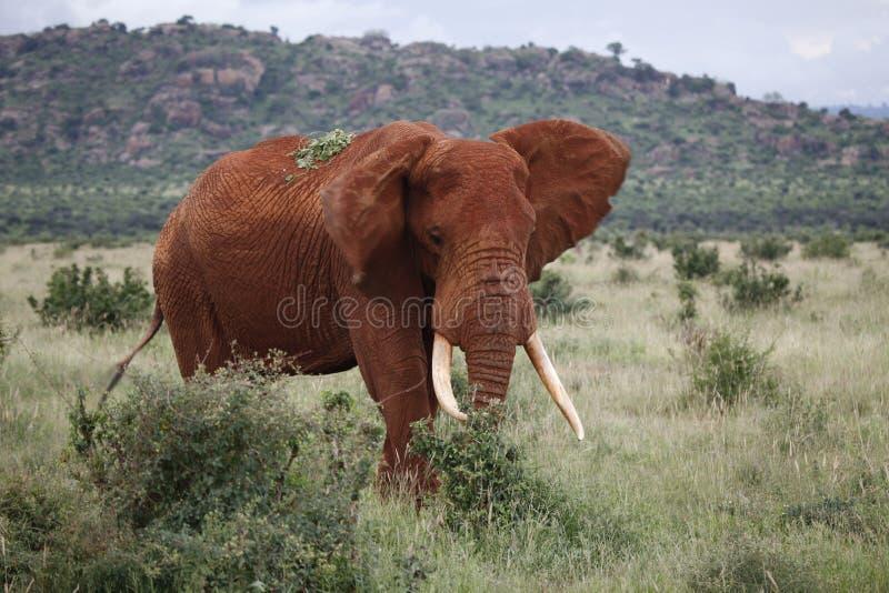 Éléphant africain rugueux photographie stock libre de droits