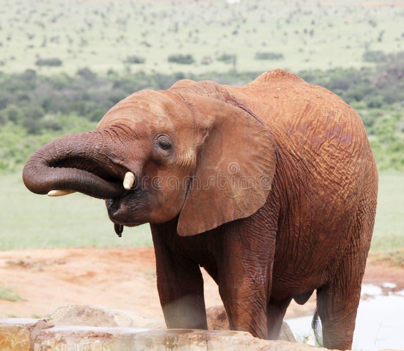 Éléphant africain rugueux photos libres de droits
